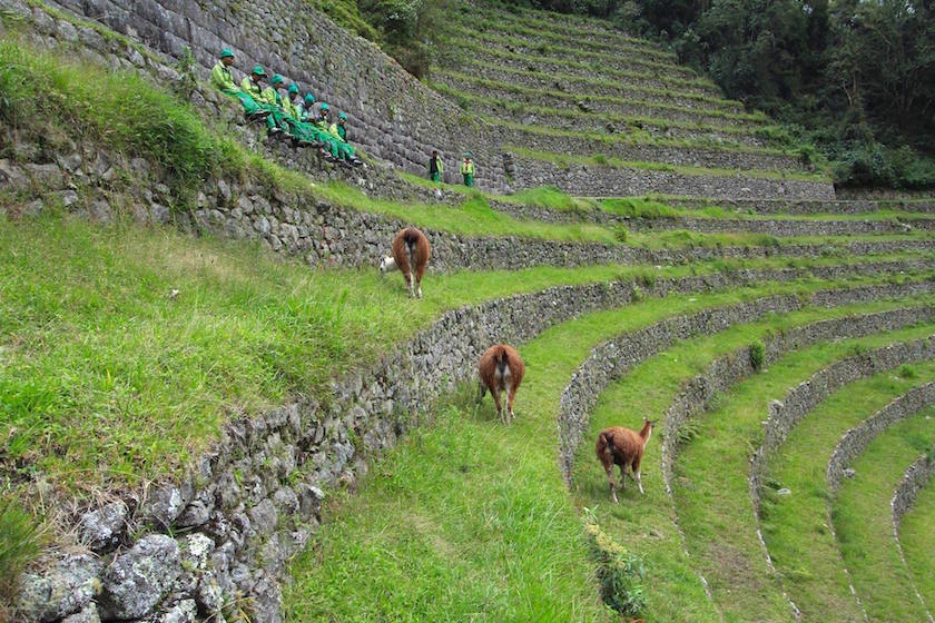 inca trail and overweight - llamas
