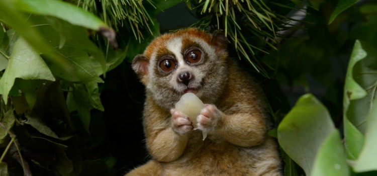 When being cute is a curse: The rise of slow loris animal touts